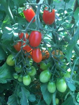 Jack's Tomato Garden